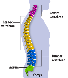 SpineAnatomy